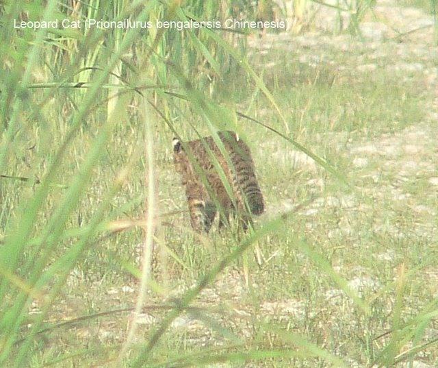2010-09-13-Leopard-Cat-Yeyahu-Brian-Jones