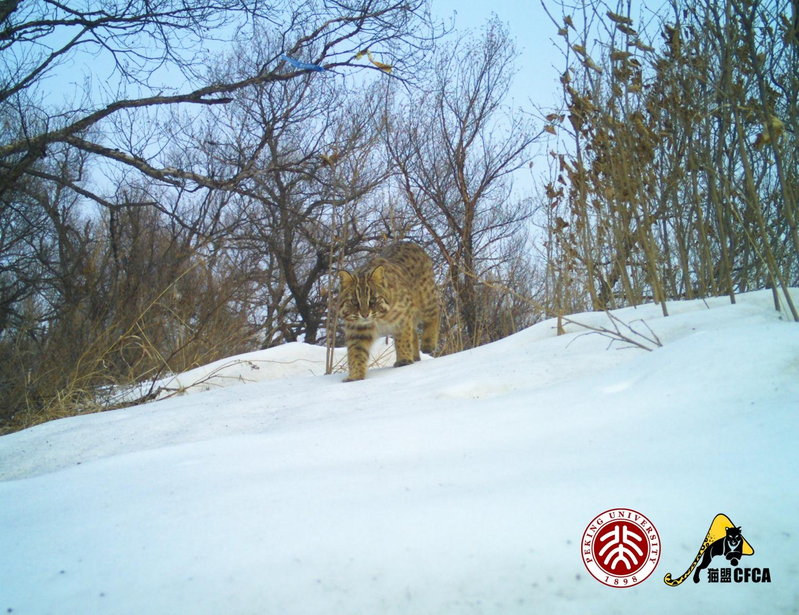leopard-cat-luo-shujin-3