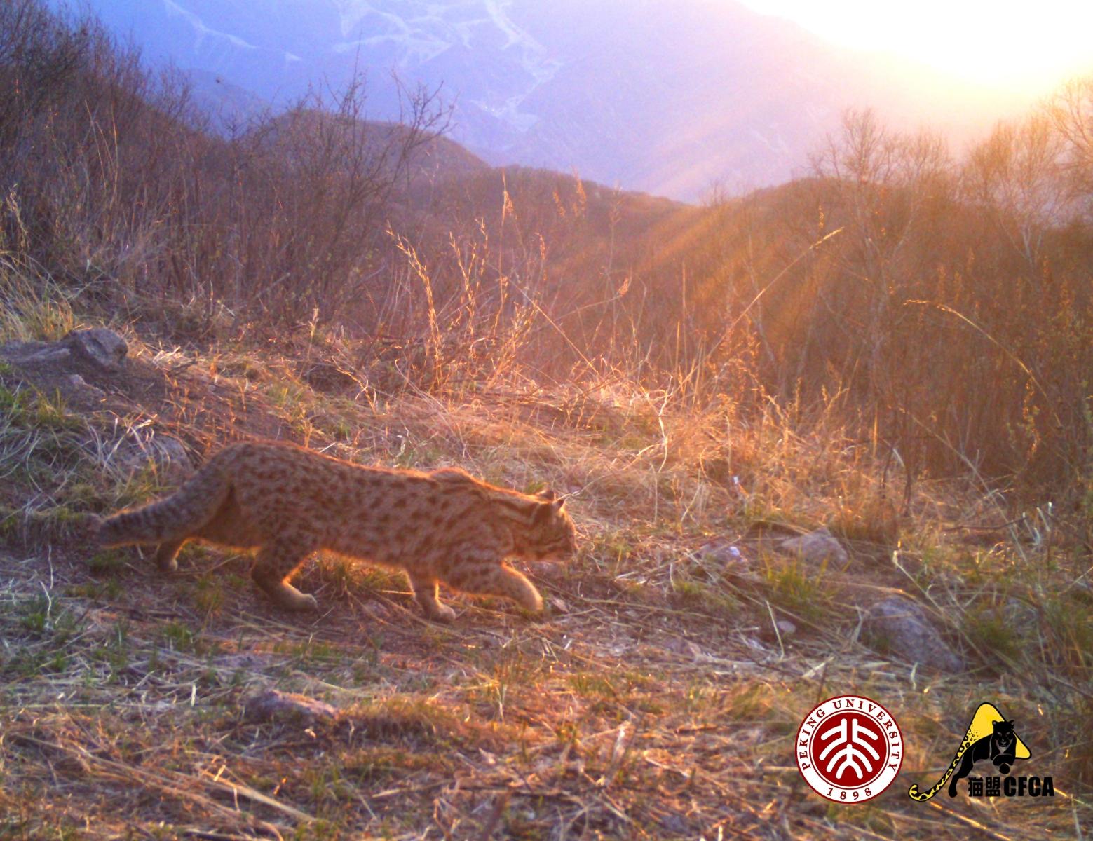 leopard-cat-luo-shujin-5