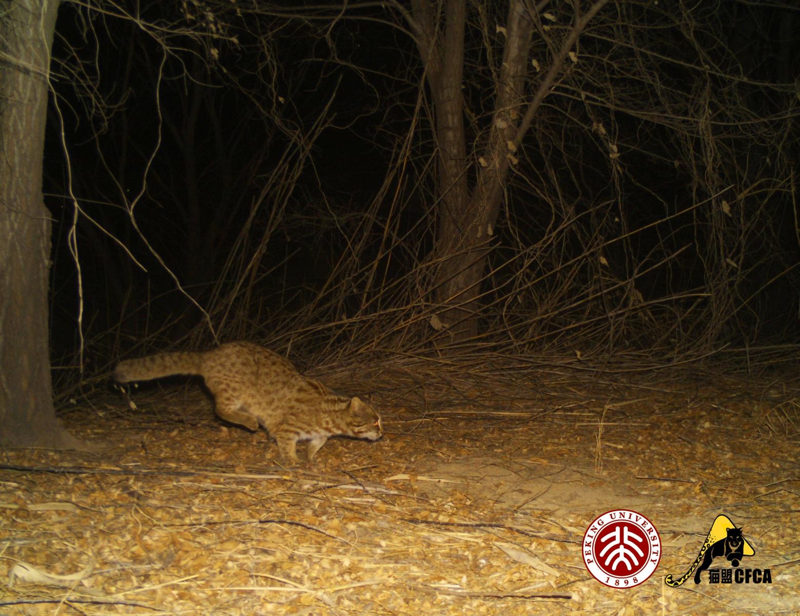 leopard-cat-luo-shujin-7