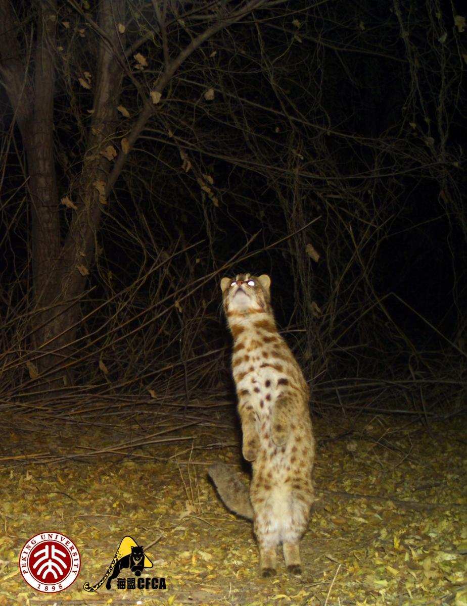 leopard-cat-luo-shujin-portrait2