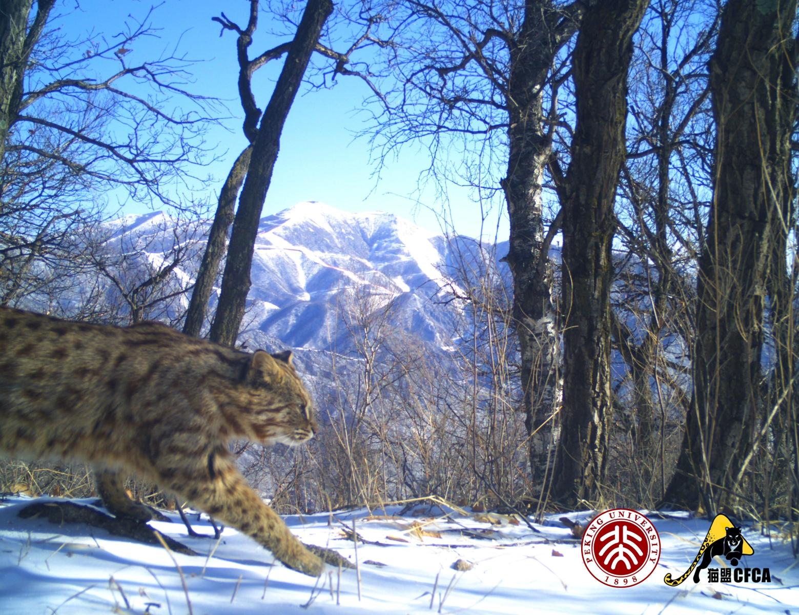 leopard-cat-luo-shujin-winter-olympics