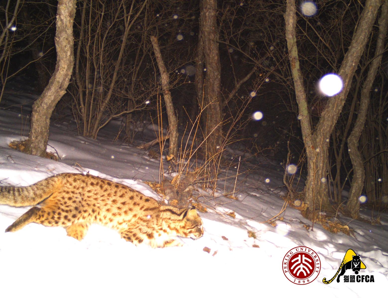 leopard-cat-luo-shujin4