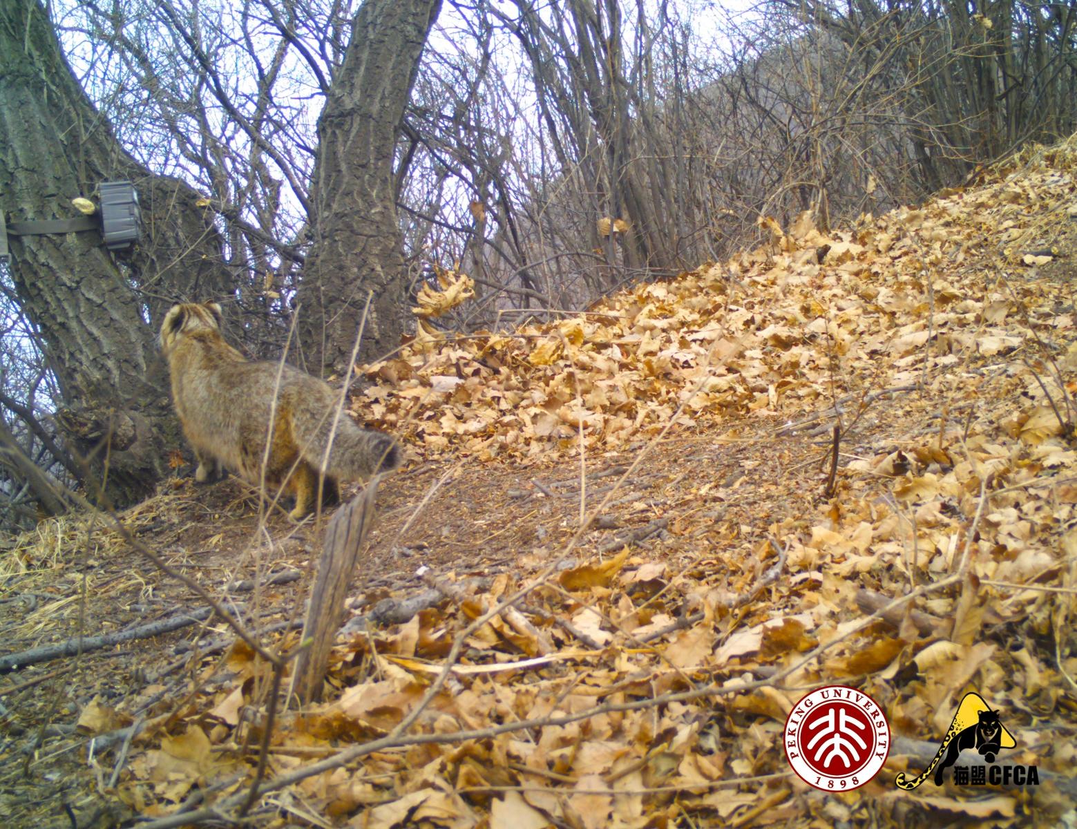 leopard-cat-luo-shujin6